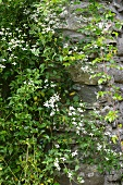 Wild clematis on stone wall