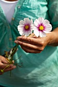 Woman picking cosmea flowers in garden