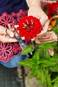 Woman picking red zinnia in garden