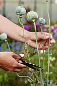 Woman cutting poppy seed heads in garden