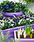 Violas and crocuses in planters on terrace