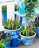 Violas, hyacinths, crocuses and tulips in planters on terrace