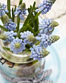 Grape hyacinths in jar with handle and gingham ribbon (close-up)