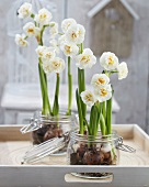 Narcissus 'Bridal Crown' in preserving jars on tray on terrace
