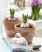 Hyacinths in old plant pots, one covered with glass cloche, on board on terrace