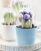 Iris reticulata in pots with glass cloches