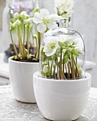 Hellebores in plant pots, one with a glass cloche