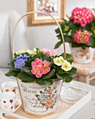 Primulas of different colours in romantic planter with handle