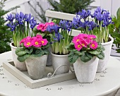Potted primulas and iris on terrace table