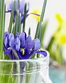 Iris reticulata in preserving jar (close-up)
