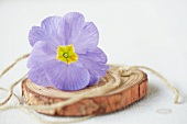 Pale blue primula flower and twine on disc of wood