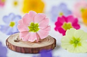Pink primula flower and twine on disc of wood
