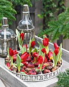 White tray of red tulips and red apples