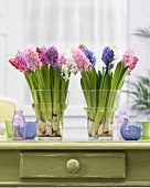 Colourful bouquets of hyacinths in glass vases