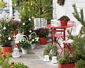 Terrace decorated for Christmas with wintergreen and skimmias