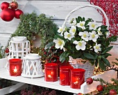 Flowering hellebore in white basket amongst red and white Christmas decorations