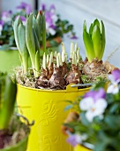 Sprouting narcissus, tulip and hyacinth bulbs