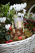 Autumnal arrangement with cyclamen, narcissus bulbs, euonymus, wintergreen and tealight holder in white basket on metal garden table (close-up)