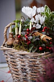 Autumnal arrangement in wicker planter with narcissus bulbs, wintergreen, cinnamon sticks and cyclamen