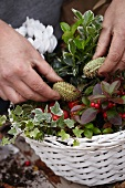 Making autumnal arrangement in basket with cyclamen, wintergreen, ivy and ornamental fruit