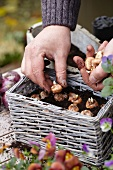 Planting crocus bulbs in a basket for an autumn display