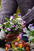 Planting violas in a basket for an autumn display