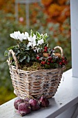 Autumnal wicker planter of wintergreen, cinnamon sticks and cyclamen next to narcissus bulbs on terrace