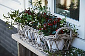 Wicker Christmas window box with mistletoe, bay and gaultheria