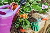 Blühende Dahlie wird im Garten eingepflanzt, verschiedene Gartenutensilien