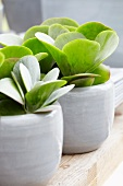 Kalanchoe thyrsiflora in ceramic pots on wooden table
