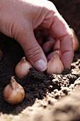 Muscari-Zwiebeln einpflanzen