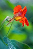 Nasturtium flower (close-up)