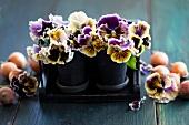Stiefmütterchen in Blumentöpfen und Zwiebeln