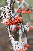 Rowan berries on branch covered in hoar-frost