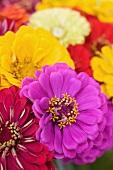 Colorful Zinnias; Close Up