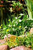 Yellow-flowering marsh marigold at edge of pond; pebbles and grasses in foreground
