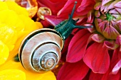 Snail on dahlia bloom