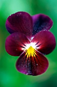 Dark purple wild pansy with yellow centre