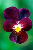 Dunkelviolette Blüte eines Acker-Stiefmütterchens mit gelbem Zentrum