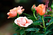 Salmon pink flowers on a rose bush