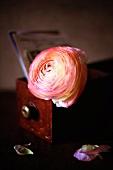 Ranunculus flower on old wooden box