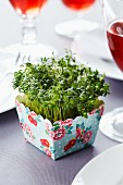 Cress growing in paper cake case