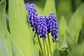 Blooming grape hyacinths