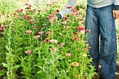 Man picking zinnia flower