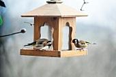 European goldfinches (Carduelis carduelis) on bird feeder