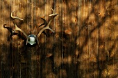 Stag's antlers hanging on wooden wall