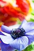 Gartenanemone - Anemone coronaria