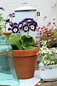 Auricula in a plant pot between other spring flowers