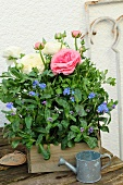 Ranunculus and forget-me-nots in a wooden box on a potting bench by a house wall