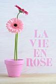 Gerbera in a pink flower pot